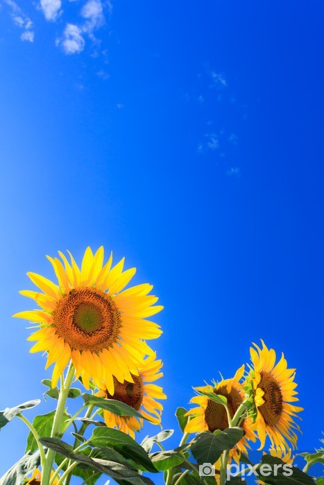 Fototapeta winylowa Słonecznik i błękitne niebo - Kwiaty