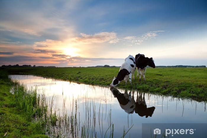 Fototapeta winylowa Krów wypasanych na zachodzie słońca. - Tematy