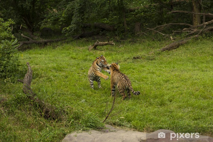 Vinylová fototapeta Amur tigers - Vinylová fototapeta