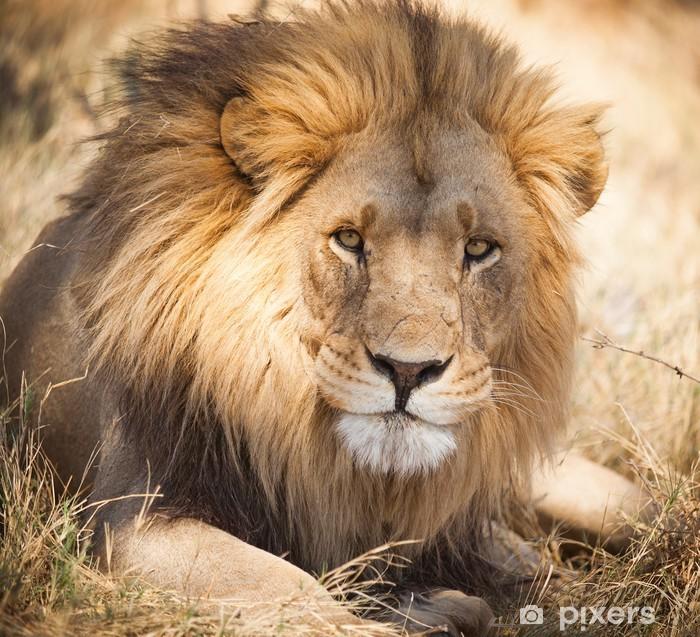 Çıkartması Pixerstick Zambiya, Afrika Büyük aslan -
