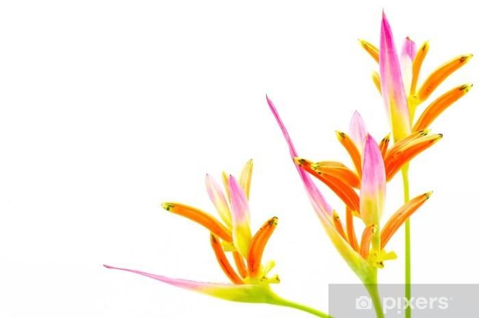 Papier peint vinyle Heliconia 'Sassy' - Fleurs