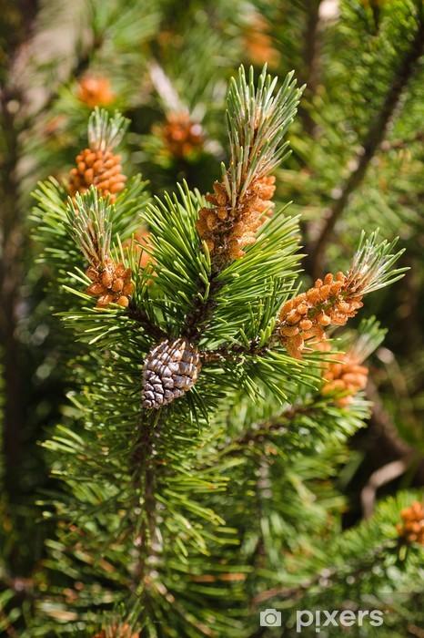 Fototapeta winylowa Mugo sosna - Drzewa