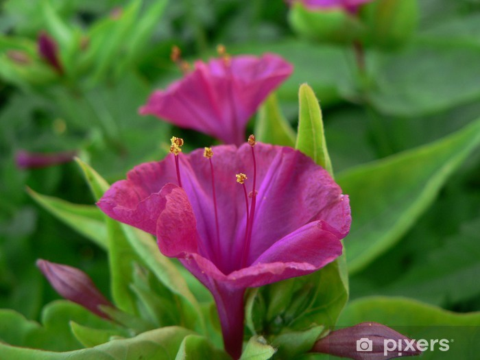 Fototapeta winylowa Kwiat miralibis Jalapa - Kwiaty