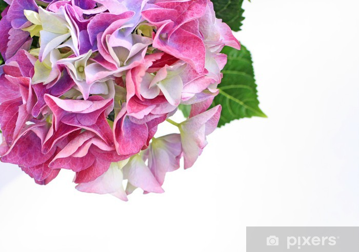 Papier peint vinyle Belles fleurs hydranea près - Fleurs