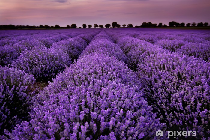 Fields of Lavender at sunset Pixerstick Sticker - Themes