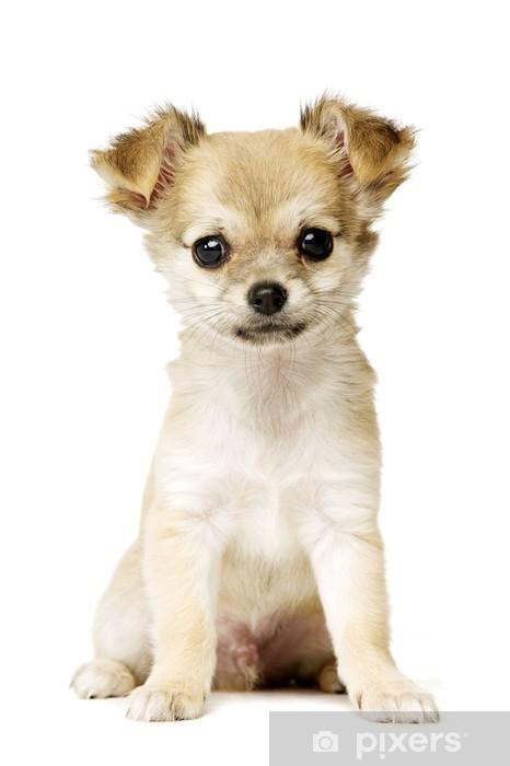 Welpen günstige kaufen chihuahua Chihuahua kaufen