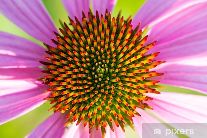 Naklejka Pixerstick Kwiatostan z Echinacea - Kwiaty