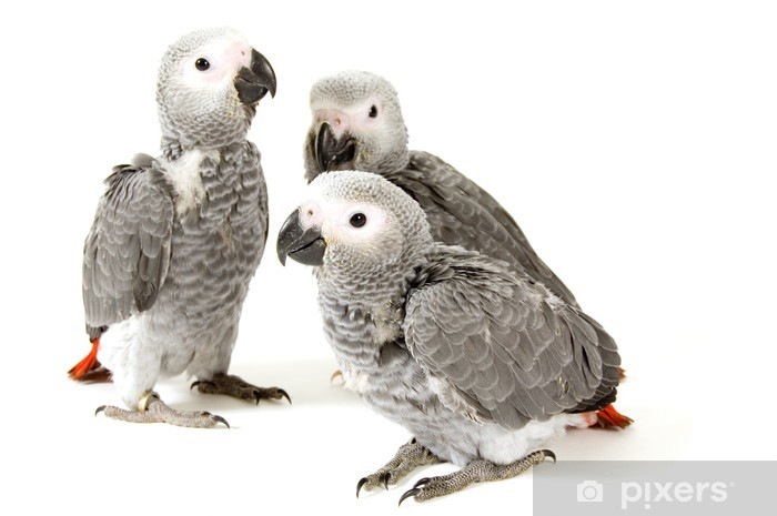 3 baby parrots isolated on white Pixerstick Sticker - Wall decals