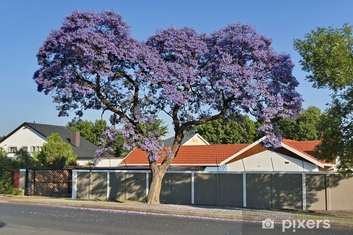 Naklejka Pixerstick Jacaranda kwiat wiosną - Afryka