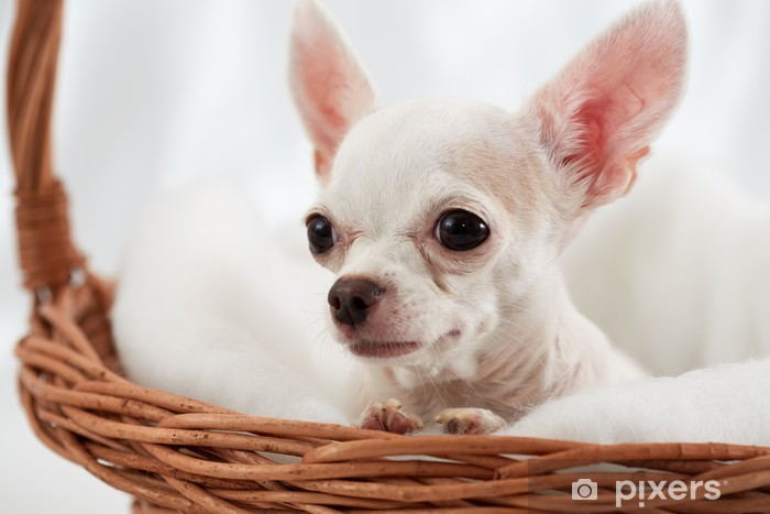 Sticker Pixerstick Close-up chihuahua assis dans le panier en osier - Mammifères