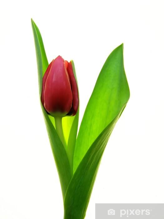 Sticker Pixerstick Close-up unique de tulipe rouge sur fond blanc - Fleurs