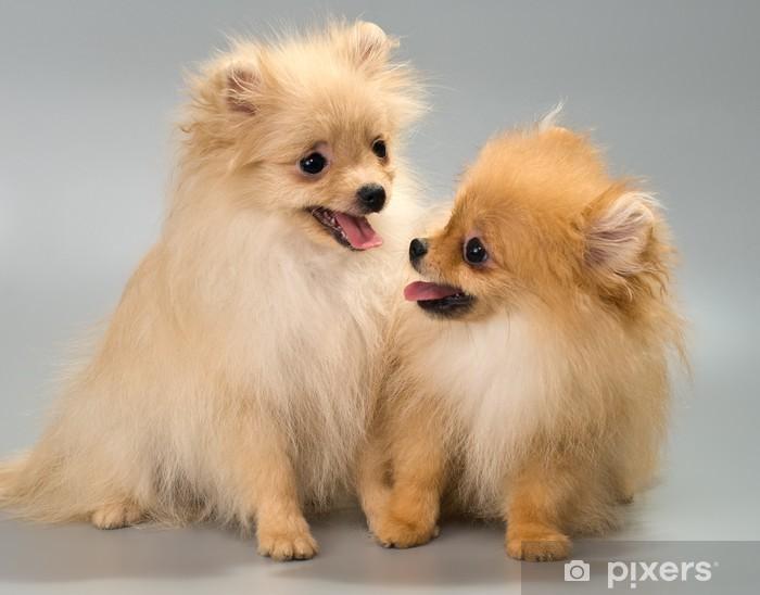 Fototapete Zwei Welpen Brut Ein Pomeranian Spitz Hund Im Studio