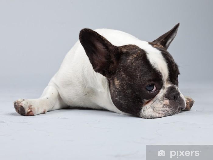 Adesivo Bulldog Francese In Bianco E Nero Isolato Su Sfondo Grigio