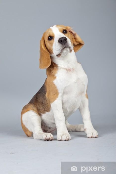Chien Peint papier peint adorable chien beagle chiot isolé sur fond gris. stud