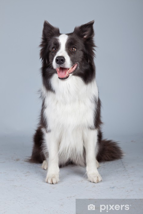 Vinylová fototapeta Krásné border kolie pes izolovaných na šedém pozadí. St - Vinylová fototapeta