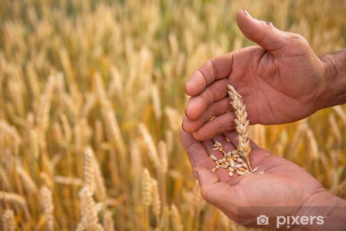 Sticker Pixerstick Blé dans les mains - Agriculture
