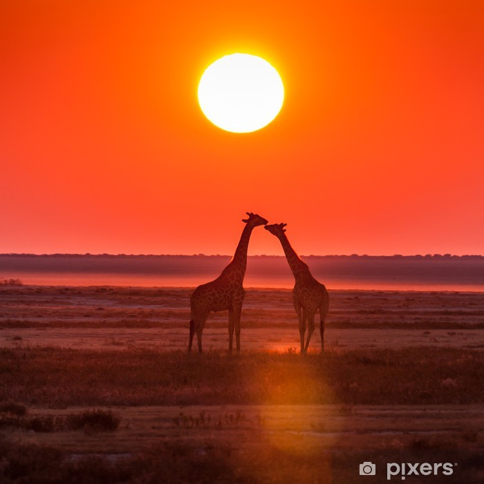giraffe kiss sunset Poster - Themes