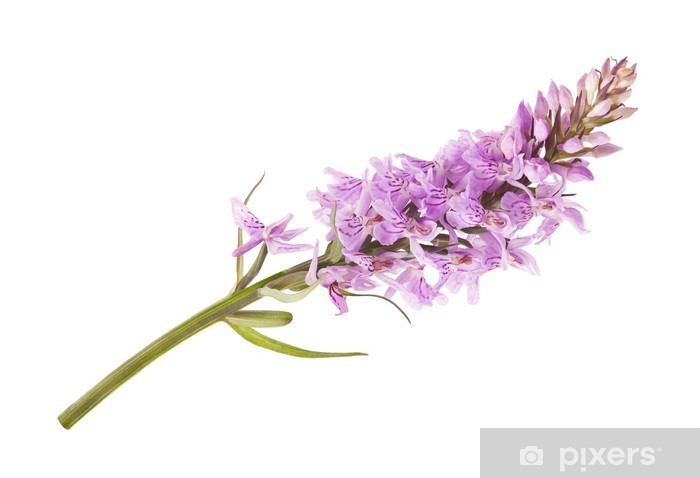 Vinyl-Fototapete Wild Orchid - Blumen