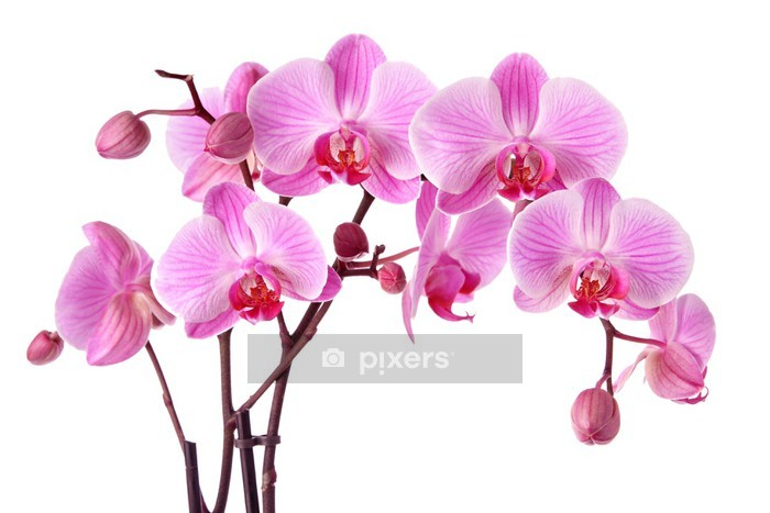 Purple orchids isolated on a white background Wall Decal - Wall decals
