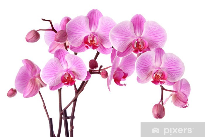 Sticker Pixerstick Orchidées pourpres isolés sur un fond blanc - Sticker mural