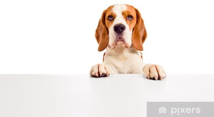 Vinyl Fotobehang Leuke beagle - Zoogdieren