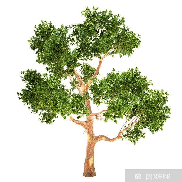 Vinyl-Fototapete Hohe Eukalyptusbaum isoliert - Jahreszeiten