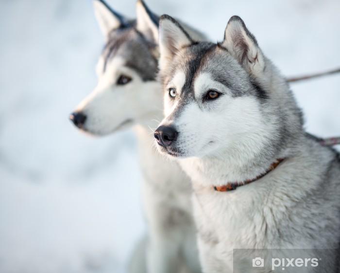 Naklejka Pixerstick Dwa siberian husky psy portret zbliżenie - Psy