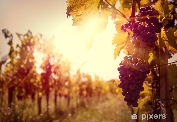Naklejka Pixerstick Winnica o zachodzie słońca w jesieni zbiorów. - Tematy