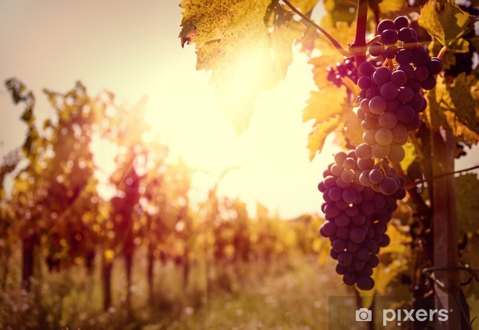 Vineyard at sunset in autumn harvest. Pixerstick Sticker - Themes