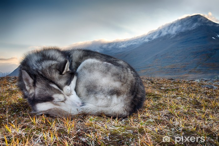 sleeping Siberian Husky in the mountains Vinyl Wall Mural - Husky