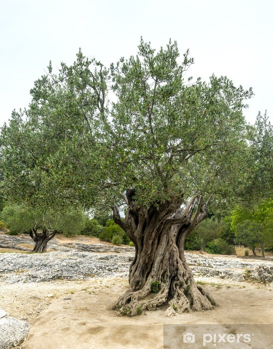 Fototapeta winylowa Pont du Gard: stare drzewa oliwne - Drzewa