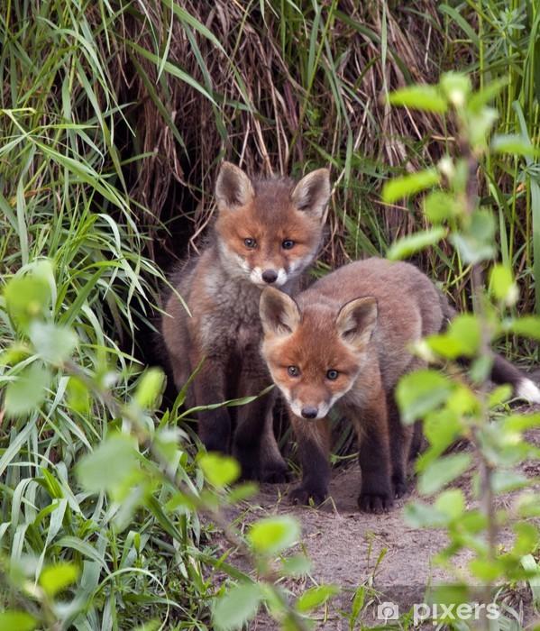Vinyl Fotobehang Rode vossen (Vulpes vulpes) 45 dagen oud. - Zoogdieren