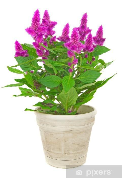 Sticker Pixerstick Une crête de coq celosia spicata plante en pot sur un fond blanc - Fleurs