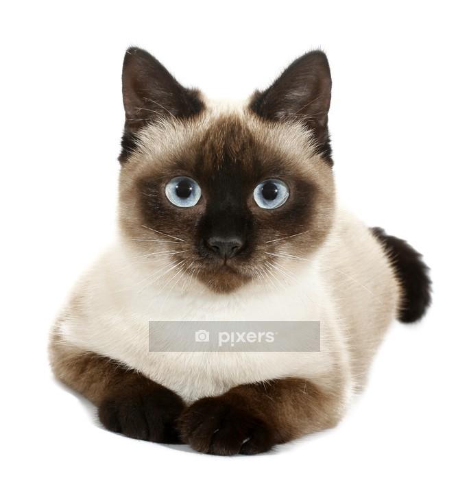 Muursticker Bruin beige kat met blauwe ogen - Zoogdieren