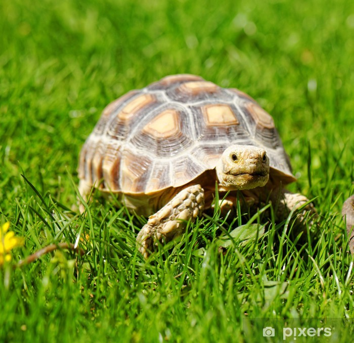 Fototapet av Vinyl Afrikansk Spurred sköldpadda - Övriga Övriga