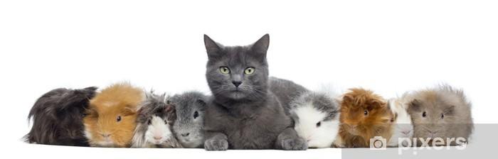 Fototapeta winylowa Świnki morskie z kotem w wierszu, samodzielnie na białym tle - Ssaki