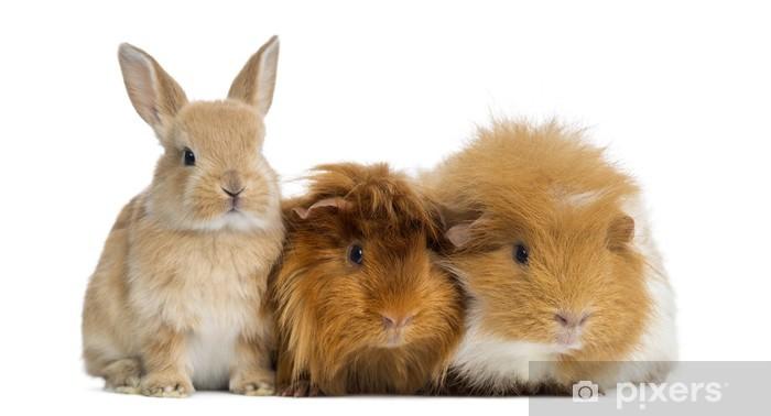 Deursticker Dwerg konijn en cavia, geïsoleerd op wit - Zoogdieren