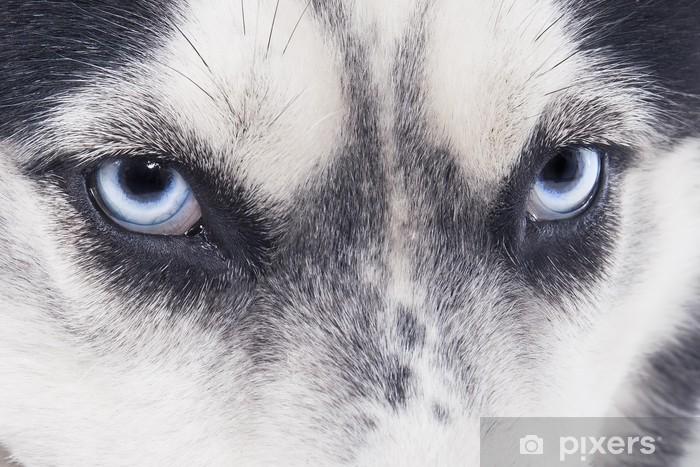 Fototapeta winylowa Niebieskie oczy Siberian Husky - Husky