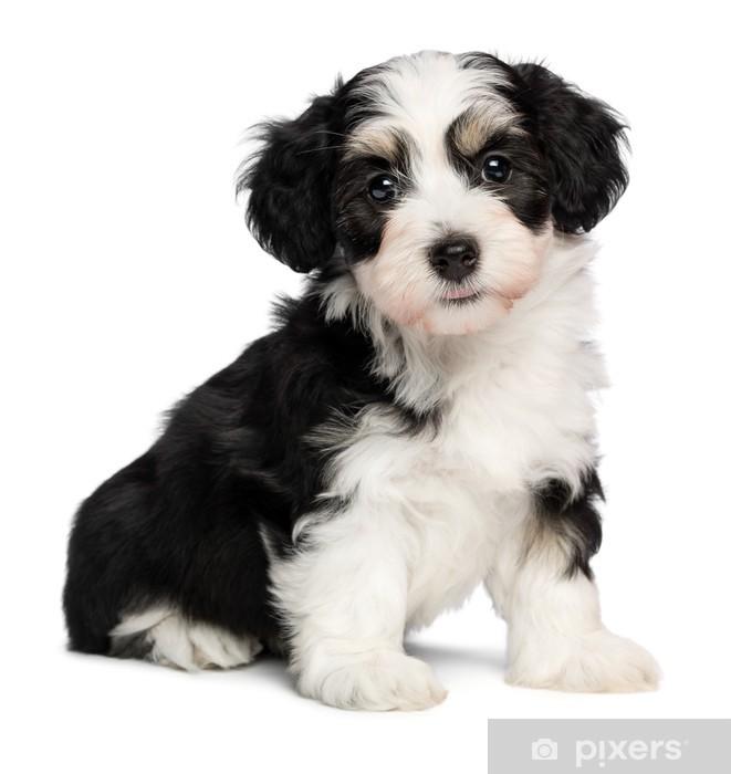 Vinyl Fotobehang Een mooie zitten tricolor havanese puppy dog - Zoogdieren