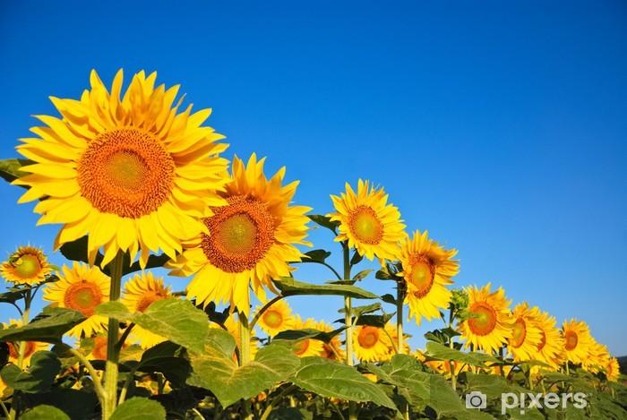 Naklejka Pixerstick Kilka słoneczniki - Rolnictwo
