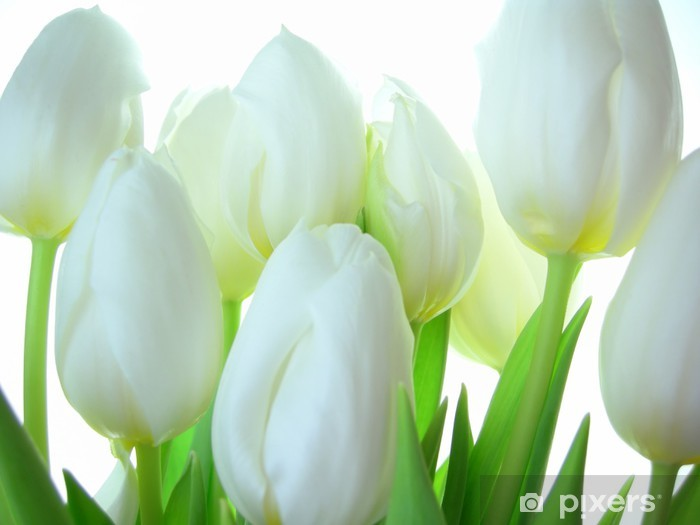 Close-up of bunch of white tulips on white background Vinyl Wall Mural - Themes