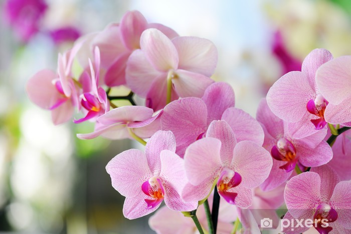 Papier peint vinyle Orchide rose - Thèmes