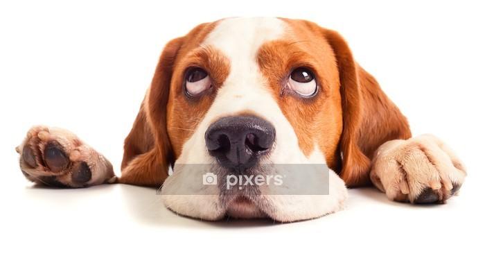 Naklejka na ścianę Głowa beagle samodzielnie na białym tle - Naklejki na ścianę