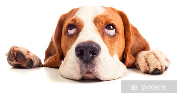 Vinyl Fotobehang Beagle hoofd geà ¯ soleerd op wit - Muursticker
