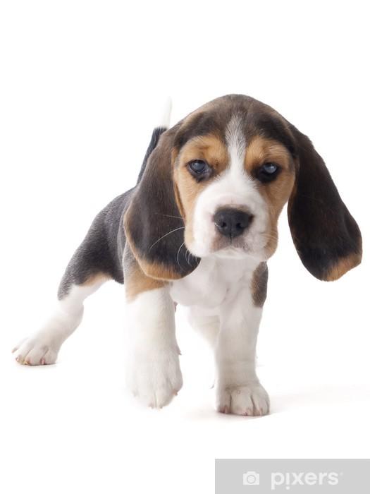 Vinyl Fotobehang Beagle puppy - Zoogdieren