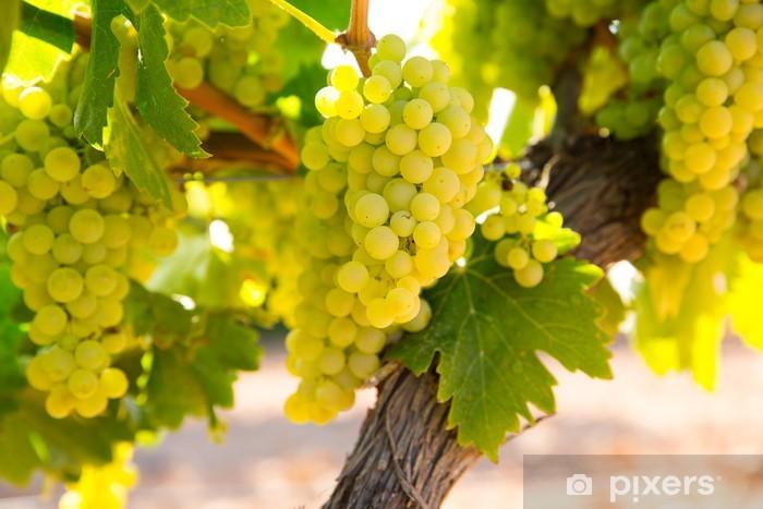 Fototapeta winylowa Winogron chardonnay wina w winnicy raw gotowe do zbioru - Rolnictwo