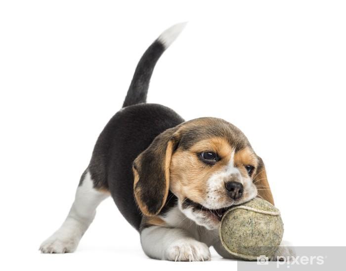 Vinyl Fotobehang Vooraanzicht van een Beagle puppy spelen met een tennisbal -