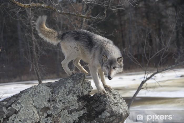 Papier peint vinyle Loup gris, Canis lupus - Thèmes
