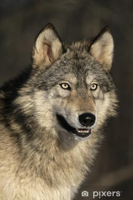 Papier peint vinyle Loup gris, Canis lupus - Loups