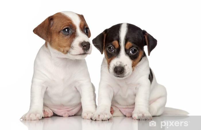 Nietypowy Okaz Jack-Russell terrier puppies Wall Mural • Pixers® • We live to change RQ66